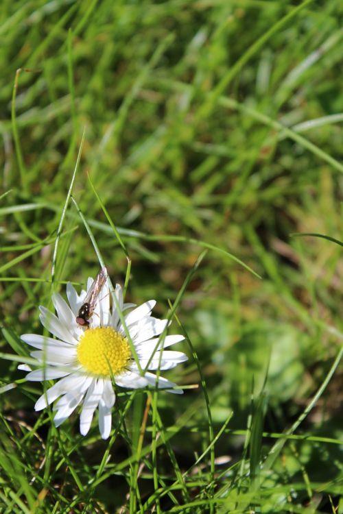 gėlė,isp,Daisy,vasaros gėlė,pavasario gėlė,balta gėlė,balta ir geltona gėlė,žolė