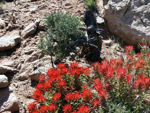 gėlė,Indijos dažų teptukas,wildflower,dykuma,gamta,akmenys