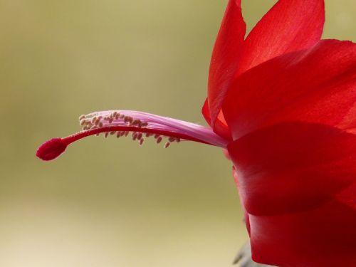 žiedas,žydėti,kaktusas,raudona,kiaušidžių,tvirtas,Schlumbergera,weihnachtskaktus,kaktusas šiltnamius,kaktusai,augalas