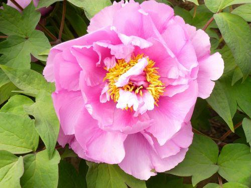 gėlė,sodas,pikonija,rožinis,tuti,gėlės,gamta,vasara,augalas,žiedlapis,žydėjimas,rožinė gėlė,pavasaris,didžiulė gėlė,žydi