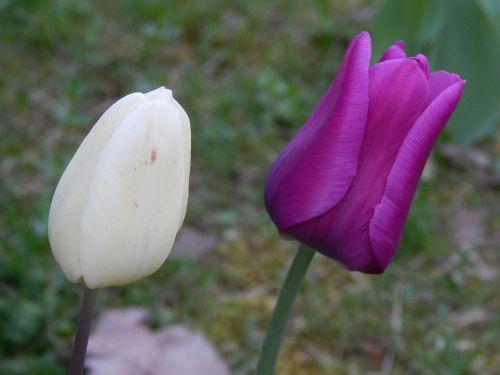 gėlė,violetinė,žiedas,žydėti,raudona violetinė,purpurinė gėlė,violetinė,pavasaris,vasara,kvepalai,balta,tulpės