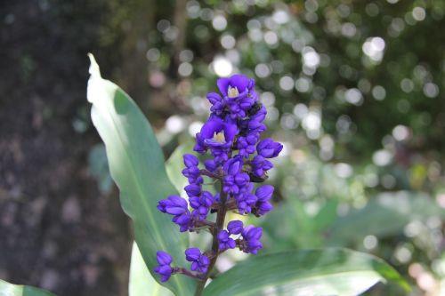 Gėlė, Purpurinė Gėlė, Havajų Gėlė, Havajų Flora, Hawaii, Atogrąžų, Violetinė, Gamta, Gėlių, Flora, Pavasaris, Vasara, Natūralus, Sodas, Augalas, Žalias, Lapai, Žiedlapis, Žydėti, Botanikos