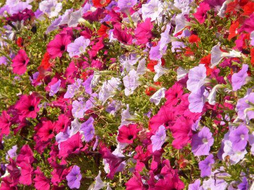 gėlė,gamta,augalas,žiedas,žydėti,farbenpracht,farbenspiel,spalvinga,violetinė,rožinis