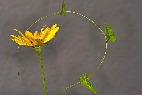 gėlė,vetch,Uždaryti,makrofotografija,makro,sodas