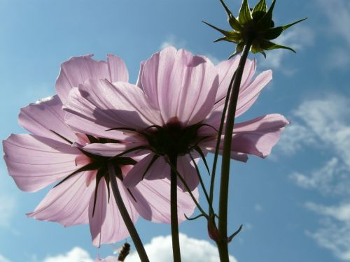 žiedas,žydėti,šviesiai rožinė,permatomas,glazūruotas per,filigranas,atgal šviesa,šviesa,cosmea,gėlė,šviesiai violetinė,helllila,violetinė,violetinė,kosmosas,cosmos bipinnatus,cosmea bipinnata,bidens formosa,coreopsis formosa bonato,lankstinukas leved schmuckblume,išpjautas lapas,kosmee,kompozitai,asteraceae,dekoratyvinis augalas,dekoratyvinė gėlė,schnittblume