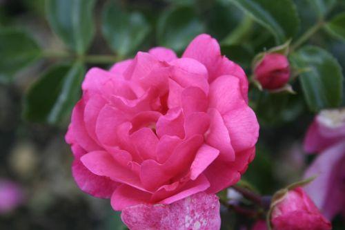 gėlė,rožinis,gamta,vasara,augalas,žiedlapis,žydėjimas,didžiulė gėlė,Iš arti,spalva