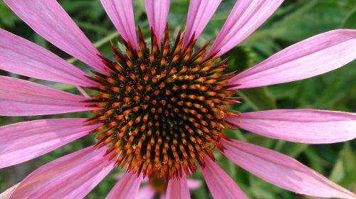 gėlė,augalas,gamta,didžiulė gėlė,grožis