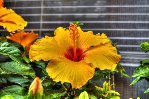 gėlė,augalas,sodo augalas,vasara,raudona gėlė,geltona gėlė,subtilus gėlių,raudona,sodas,geltona,žiedynas,natūrali gėlė,peonija,spalvinga,subtilus gėlė,kiaulpienė