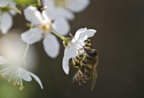 žiedas,žydėti,mirabelle,pavasaris,bičių,medaus BITĖ,baltas žiedas,žiedas,kernobstgewaechs,balta,lenz