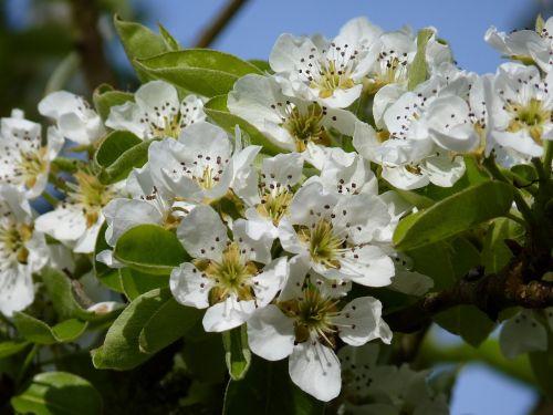 žiedas, žydėti, vyšnia, pavasaris, vyšnių žiedas, medis, makro, balta, baltas žiedas, žydėti, filialas, žalias, gamta, vaismedis, augalas, saldžios vyšnios, blütenmeeris