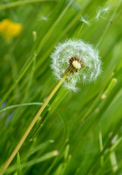 gėlė,kiaulpienė,kiaulpienės,gėlės,gamta,augalai,pūkas,pavasaris,išblukęs kiaulpienė,augalas,žolė,šviesa,Laisvas,išblukęs