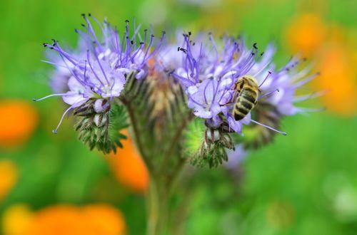 žiedas,žydėti,bičių,pabarstyti,vabzdys,gėlė,žiedadulkės,sodas,apdulkinimas,vasara,Uždaryti,medaus BITĖ,bičių žiedadulkės,nektaras