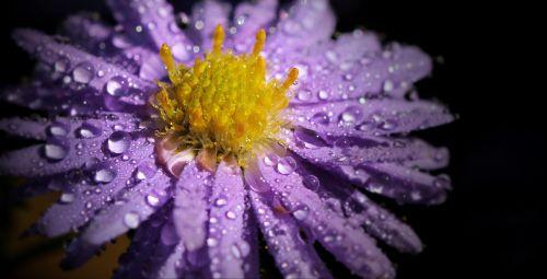 gėlė,gamta,lašai,gamtos grožis,pavasaris,pieva,augalai,augalas,grožis,sodas,vasara,žydi