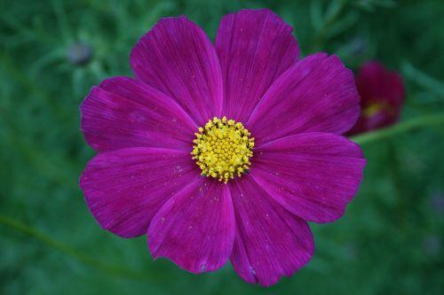Gėlė, Rožinis, Ro, Rožinė Gėlė, Švelnus, Žydėti, Violetinė
