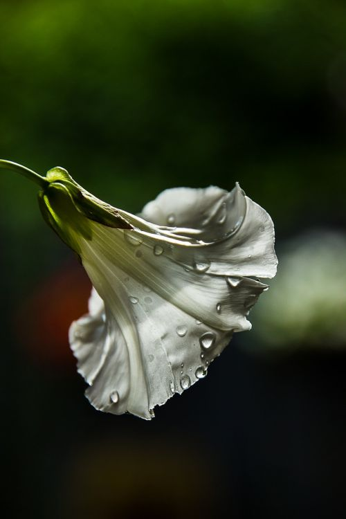 gėlė, piktžolės, juostos, čalis, gamta, gėlės