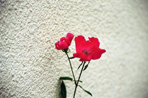 gėlė,raudona,gėlės,augalas,didžiulė gėlė,flora,sodas