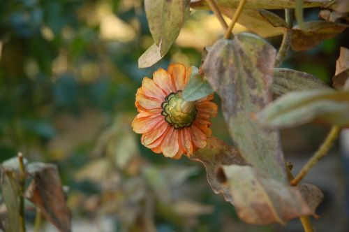 gėlė,sodai,gamta,žydėti,vasara,gėlių,augalas,gėlių sodas,natūralus,botanikos,lauke,kritimas,oranžinė,rožinis,botanikos