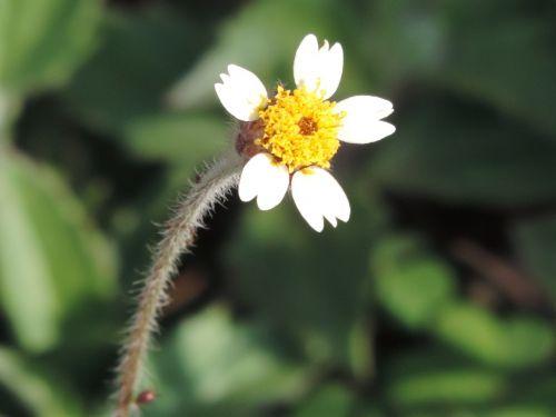 gėlė,gamta,trapi,pavasaris,sodas,ramybė,gėlės,balta gėlė,viengungis