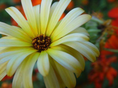 gėlė,gėlės,vasaros gėlės,balta,graži gėlė,sodo gėlės,augalas,gamta,vasara,Iš arti,gražios gėlės,baltos gėlės,balta gėlė