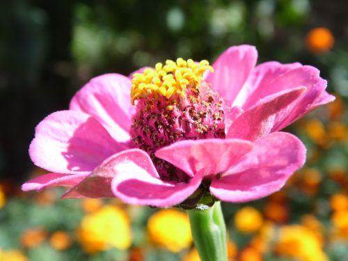 gėlė,gėlės,vasaros gėlės,gamta,graži gėlė,rožinė gėlė,sodo gėlės,žydėti,augalas,vasara,Iš arti,gražus,gražios gėlės,sodo gėlė