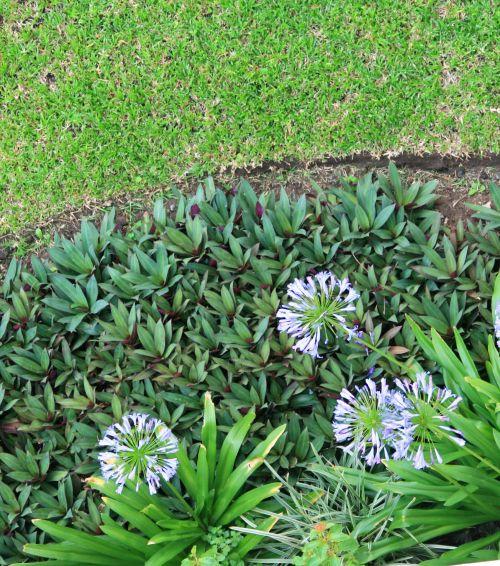 sodas, geliu lova, suapvalintas, veja, gėlės, augalai, agapanthus, gėlių lova su agapantu