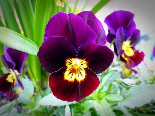 gėlių žiedai,Pansy,augalas,Uždaryti,pavasaris,mėlynas,violaceae,vasara