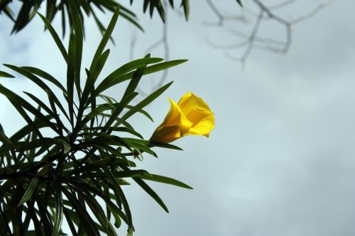 viena gėlė & nbsp, pumpurai, vienas, gėlė, budas, viena gėlė, vienas & nbsp, budas, geltona & nbsp, budas, geltona & nbsp, gėlė, lapai, augalai, gėlių pumpuras