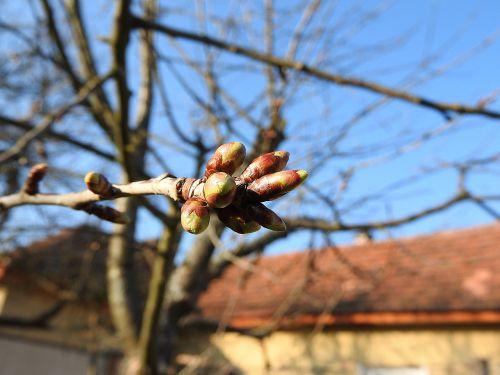 gėlių pumpurai,vyšnių pumpurai,pavasaris,lapų pumpurai