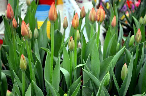 gėlės, tulpės, budas, pumpurai, žydėti, žydi, stiebai, gėlių pumpurai