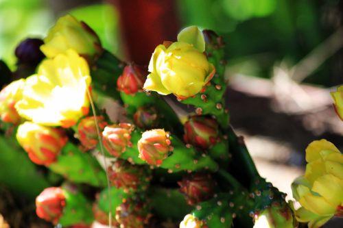 gėlių & nbsp, pumpurai, gėlė, pumpurai, geltona & nbsp, gėlė, pumpurai & nbsp, tekstūra, geltonos spalvos & nbsp, pumpurai, gėlių pumpurai