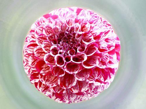 gėlė, dahlia, žiedlapiai, meno, iliustracija, dažymas, plūdė, plaukiojantieji, žydėti, žiedas, graži, rožinis, raudona, gėlė & nbsp, galva, gėlė plaukioja vandeniu