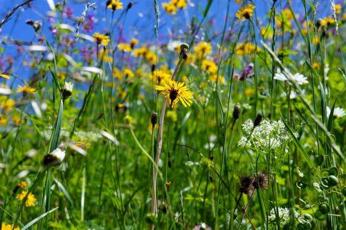 Gėlių Pieva, Gėlės, Pavasaris, Pieva, Gamta, Geltona, Vasaros Pieva, Balta Gėlė, Kalnų Pieva, Augalas, Žolė, Žydėti, Vasara, Laukinės Gėlės