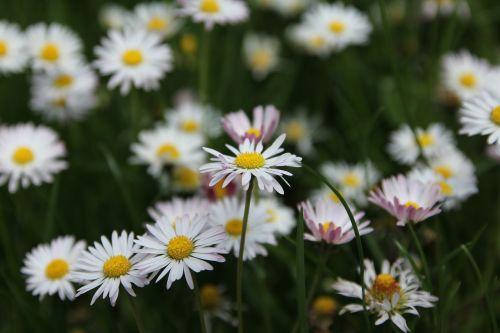Gėlių Pieva, Pieva, Gėlės, Žydėti, Laukinės Gėlės, Daisy, Vasaros Pieva, Pavasario Pieva, Žolės, Laukinė Gėlė