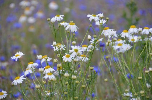 gėlių pieva,vasaros pieva,pieva,kalnų pieva,saulėtas,vasara,Daisy,ramunė,balta,mėlynas,violetinė,gėlės,gėlių gausa