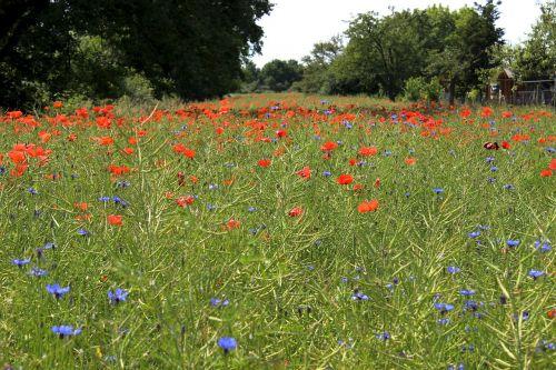 gėlių pieva,aguonos,pieva,raudonos gėlės,laukas