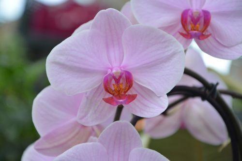 gėlių orchidėja,rožinis,dekoratyvinis,gamta,augalas,rožinė orchidėja,egzotiška gėlė,orchidėja,dovanos,žydėjimas,botanika,įvykiai,flora,apdaila