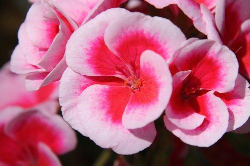 gėlių žiedlapių, gėlė, gėlės, spalva, gėlių pumpurų, floros, pobūdį, raudona, rožinis, augalų, šviesus, gražus