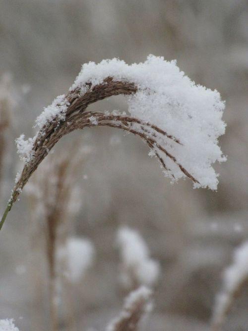 žydėjimas,Miscanthus,po sniegu