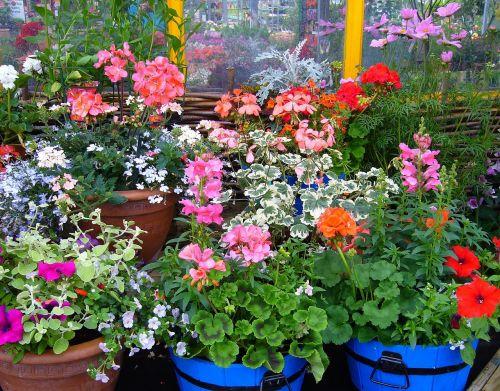 žydinčių augalų augalai,augalo ekranas,puodą,augalai,vasara,sodo augalai