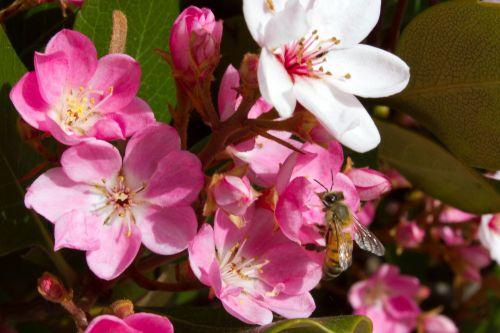 gamta, pavasaris, apdulkinimas, medus & nbsp, bitė, žydėti, žiedas, gėlė, krūmynai, žydintis krūmas su bičių