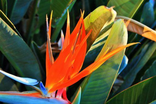 gėlė, oranžinė, nacionalinis, paukštis & nbsp, rojus, žydėjimo strelitija