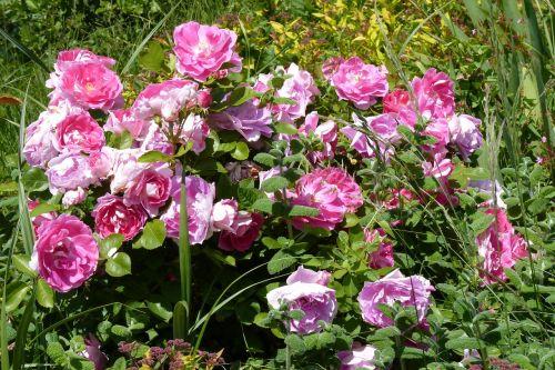 gėlės,rožinis,rožinės gėlės,sodas,gamta,rožių krūmas,purpurinės gėlės,laukinės gėlės