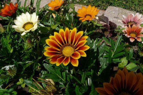 gazania,gėlės,gazania rigens,oranžinė,vasara,france,žydėjo,sodas