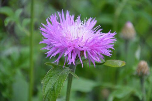 Astra, Gėlės, Fauna
