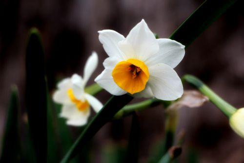 narcizas,gėlės,baltos gėlės,žiedadulkės,gamta,augalai,kraštovaizdis,balta