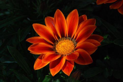 gėlės,gazanie,dekoratyvinis augalas