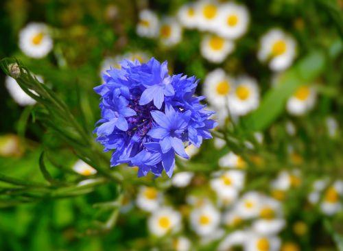 gėlės,violetinė,žalias,Daisy,balta,huan,antomasako,horizontalus horizontalus kelias,mokesčio stotis,geliu lova,Jokohama,kanagawa japan,Japonija,žolė,lapai