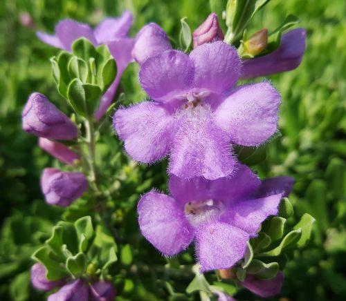 gėlės,šalavijas,Teksasas šalavijas,barometras krūmas,sidabrinis lapelis,purpurinis šalavijas,figvotas,sodas,žiedlapiai,pavasaris,kvapas,kvapas,tuti,plaukai,rožinis,rožinės gėlės,krūmai,Iš arti,gamta,flora,gėlių,botanika,botanikos,leucophyllum