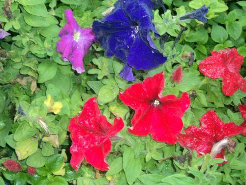 gėlės & nbsp, fonas, gėlės, fonas, lapai, žalios spalvos & nbsp, lapai, rožinė & nbsp, gėlės, violetinė & nbsp, gėlės, raudonos & nbsp, gėlės, spalvingos & nbsp, gėlės, gėlės