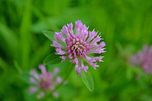 gėlės,rožinis,rožinės gėlės,pavasaris,laukinės gėlės,lauko gėlės,dobilas,sausmedis,purpurinės gėlės,violetinė,violetinė-rožinė